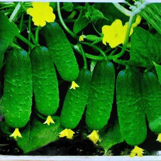 宿迁沭阳县 水果小黄瓜种子,盆栽阳台庭院种植