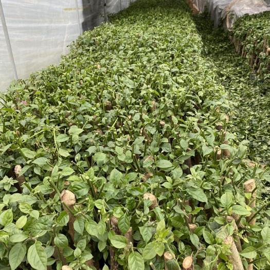 漳州龙海市云南紫三角梅苗 四季大紫,大苗,直径2-3cm,40杆云南紫