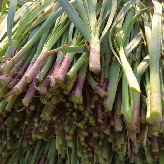 潍坊寿光市 新韭菜根 红根,优质寿光小王家韭菜根