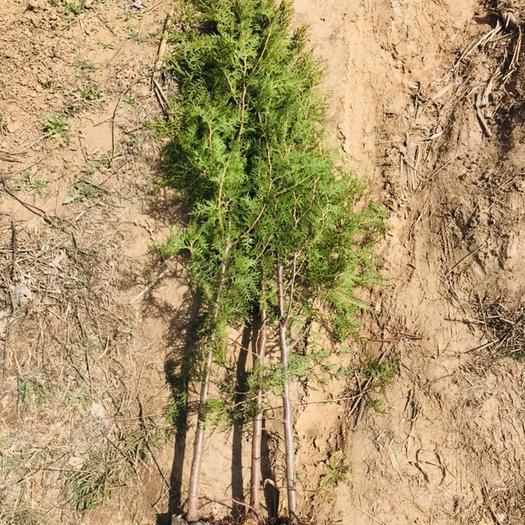 臨沂莒南縣 側柏1.5米高 綠化 側柏苗 基地供應 苗地直發