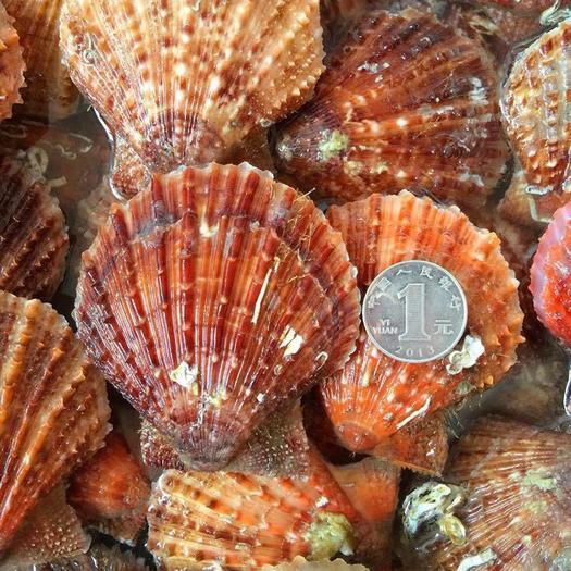 乳山市 扇贝,威海小红贝,产地直发
