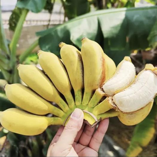 南寧橫縣小米蕉 七成熟