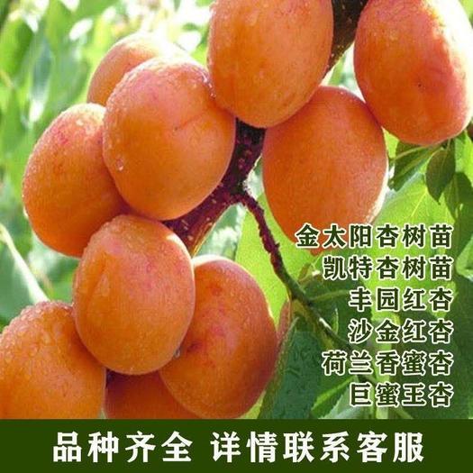 平邑縣金太陽杏樹苗 荷蘭香蜜 金太陽杏凱特杏 沙金紅杏苗 個大豐產抗旱 品種對版