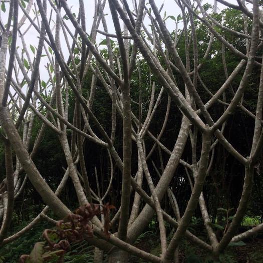 玉林玉州區東風桔盆景 雞蛋花風景樹
