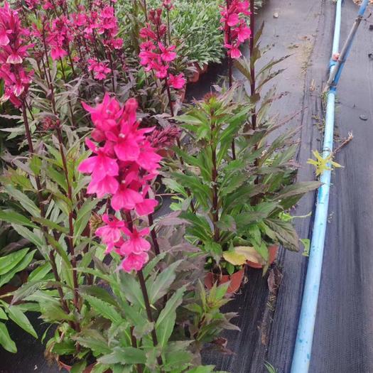 普寧市百年艷山紅 宿根六倍利 多年生草本分枝能力強 花穗長且濃密整齊性佳