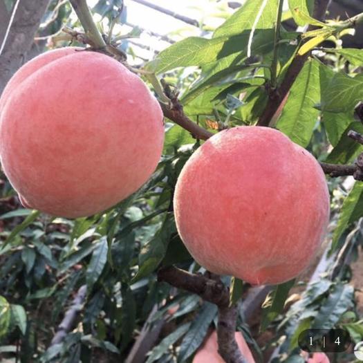 唐山樂亭縣 新鮮水蜜桃子大量上市,果型好,現貨供應包郵