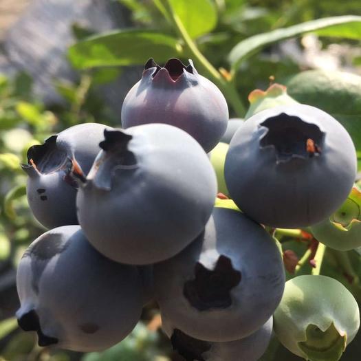 丹東東港市 丹東藍莓酸甜口藍莓