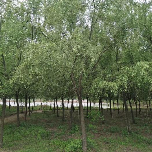 滁州南譙區 柳樹6-22公分