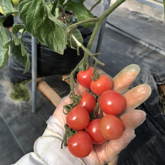蘇州吳中區 櫻桃小番茄,