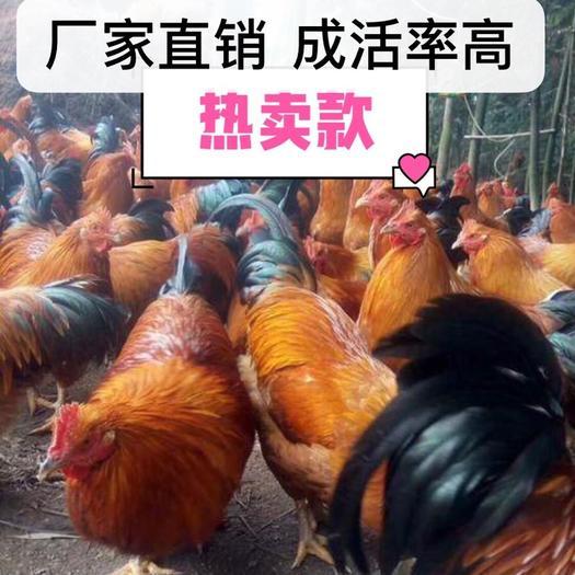 南宁 热销灵山土鸡苗土1.5土二苗健康精神 毛色好 易饲养桂香鸡苗