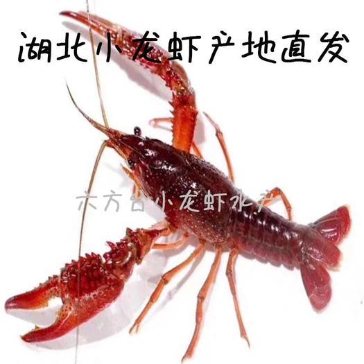 潜江市 潜江小龙虾 小青2-4,中青4-6,大青7-9规格 货量大