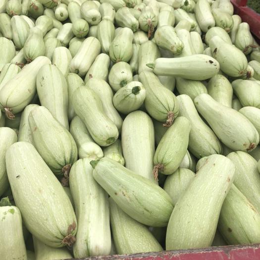 南陽新野縣綠皮西葫蘆 1斤~1.5斤