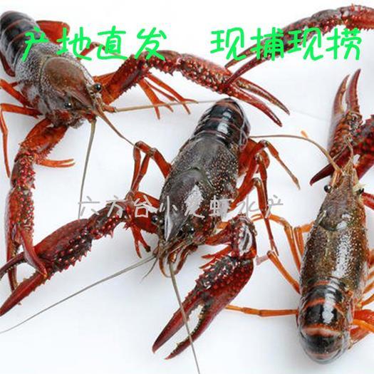 荆州江陵县 湖北小龙虾批发 原产地直发 清水 鲜活 小青 中青 大青