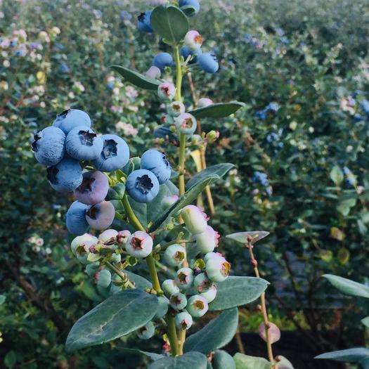 昆明西山區 珠寶綠寶石藍莓 15mm以上大果