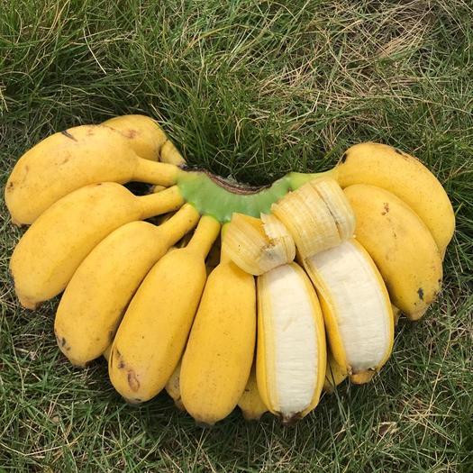 南寧賓陽縣 廣西小米蕉9斤當季新鮮水果包郵3斤5斤非香蕉皇帝焦