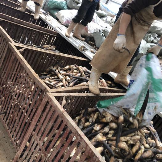 杭州桐廬縣 雷竹筍,毛筍,羊毛筍,羅漢筍產地直供量大從優
