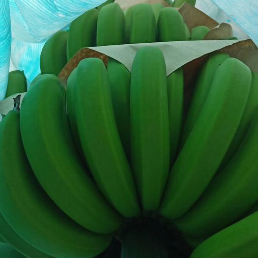 红河河口瑶族自治县河口香蕉 10吨起批,价格1.8包装纸箱打包好上车 货好不好自己一看便