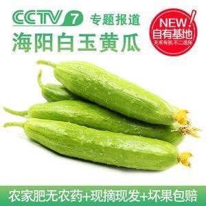 青岛莱西市 海阳白玉黄瓜,山东著名特产,天然无公害绿色食品