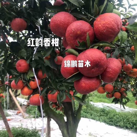 简阳市红韵香柑枝条 红韵香柑苗