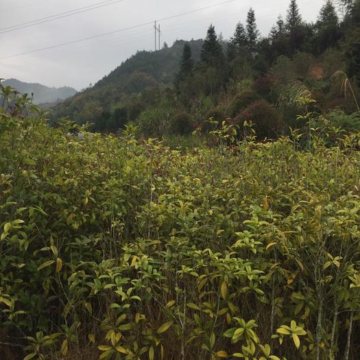 漳平市八月桂