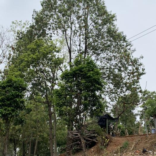 宜昌 香樟,欒樹林,因種植園改造,不計成本,甩貨