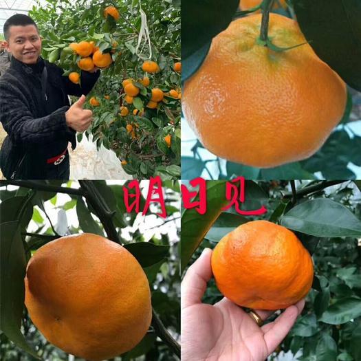 简阳市明日见柑橘苗 明日见杯苗
