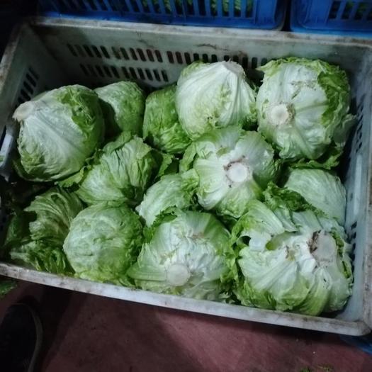 上海 結球生菜