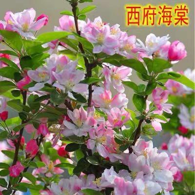 平邑縣 海棠苗 盆栽地栽苗 品種齊全 帶花苞發貨