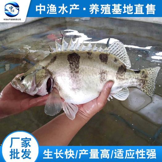 广州鳜鱼苗 统货