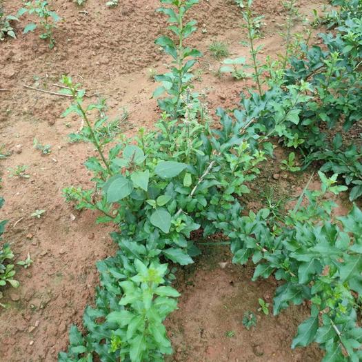 普寧市 食用枸杞葉大葉小葉袋苗灌木或大灌木葉根系發達好管理高營養