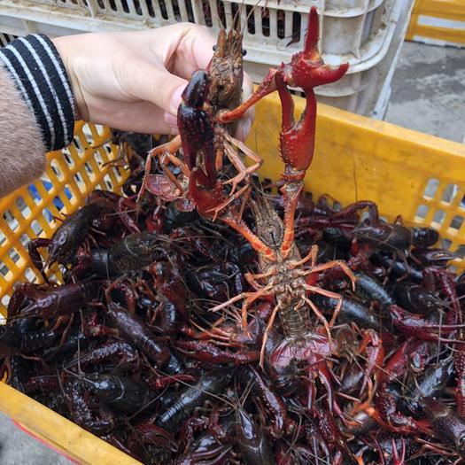 洪湖市青殼小龍蝦 中紅4-6錢 人工養殖