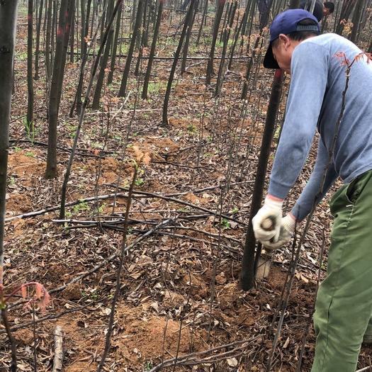 京山市 大量出售3公分小欒樹,