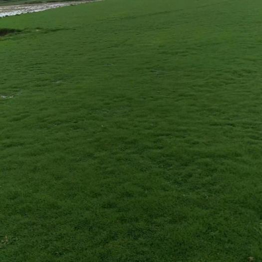 全州县马尼拉草皮 马尼拉,台湾草,大叶草
