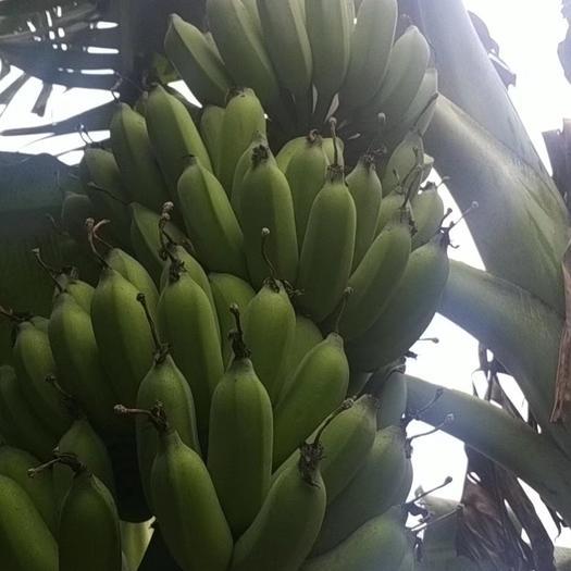 徐闻县小米蕉 九成熟