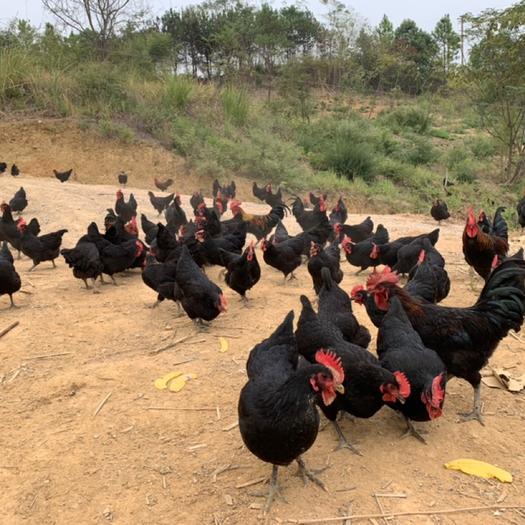 娄底 土鸡两年老母鸡三年老母鸡笨鸡黑鸡走地鸡跑山鸡林下鸡