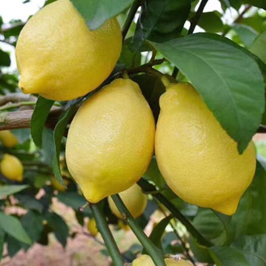 成都 柠檬苗