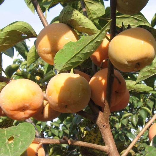 普宁市日本甜柿子苗 日本甜柿子嫁接苗特大脆甜柿子树苗地栽果树南北方种植当年结果