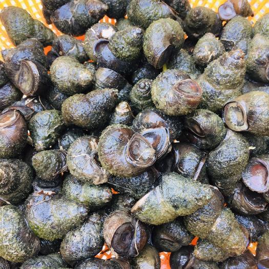 荆州螺蛳 新鲜石螺,饲料螺。纯手工打捞