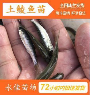 东莞市鲮鱼苗 放生、养殖专用苗