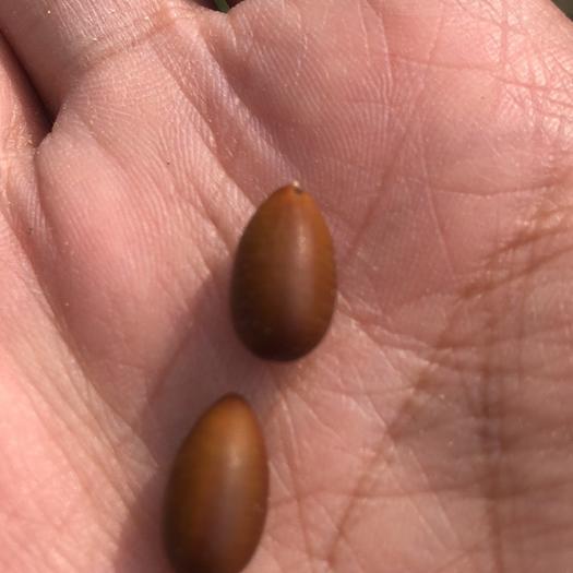 西安 精品皂角种子