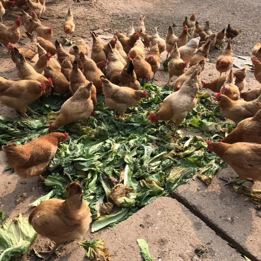 株洲 農家高山散養一年多的老母雞128元1只順豐包郵