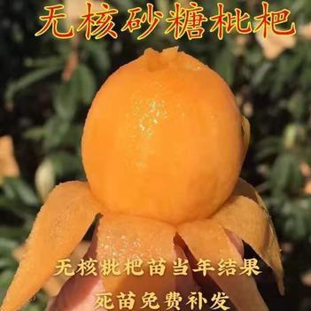 大五星枇杷苗  无核砂糖枇杷 无籽甜度高 当年结果 品种齐全 果大浓甜