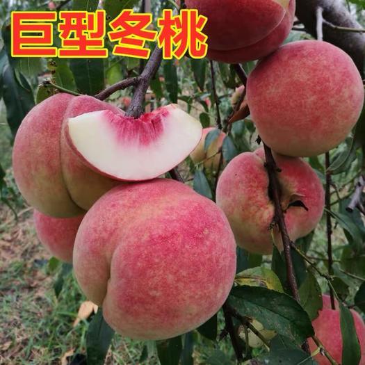 冬桃苗  巨型冬桃 果大离核 脆甜 品种齐全 当年结果