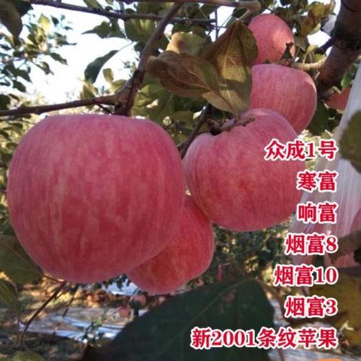 烟富10苹果苗  烟富8  鲁丽苹果苗 嫁接苹果苗 产量大 当年结果