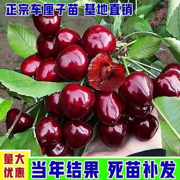 俄罗斯8号樱桃苗  车厘子苗 品种齐全 粒大浓甜产量高 当年结果