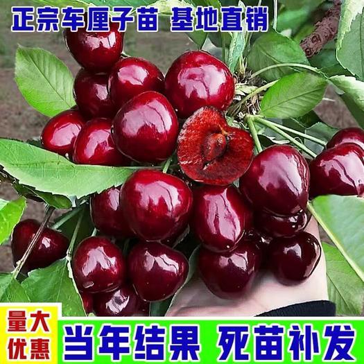 俄罗斯8号樱桃苗  车厘子苗 粒大浓甜 品种齐全 当年结果