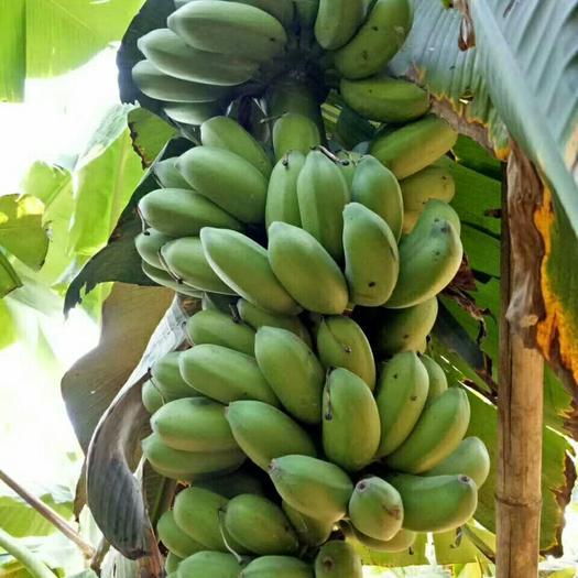 南寧西鄉塘區皇帝蕉 自家種植小米蕉26元9斤凈果包郵