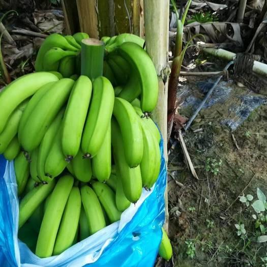 惠东县广东香蕉1号