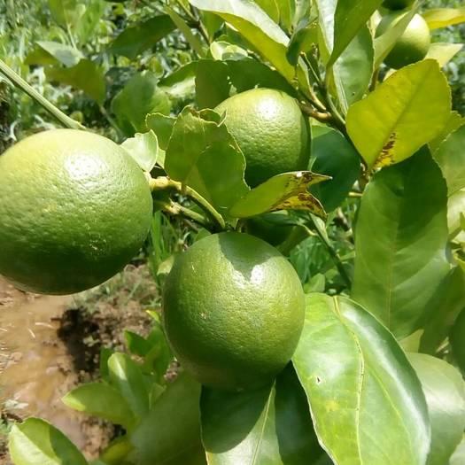 容县香水柠檬苗
