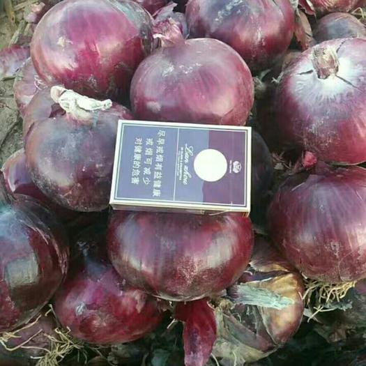 张掖高台县紫皮洋葱 9cm以上